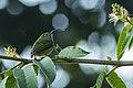 Sunbird Asity fem - Ranomafana - Madagascar S4E8078 (15286125391) (2).jpg