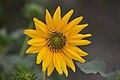 Sunflower (Helianthus) Feb 2019. DSC 0037 01.jpg
