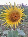 Sunflower in wayanad.jpg