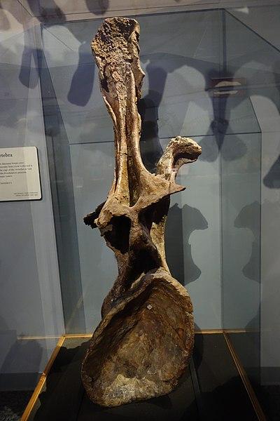 Supersaurus dorsal vertebra 1.jpg