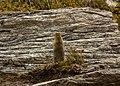 Suslik ártico (Spermophilus parryii), Parque nacional y reserva Denali, Alaska, Estados Unidos, 2017-08-29, DD 112.jpg