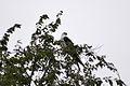 Swallow-tailed Kite (Elanoides forficatus) (14761998368).jpg