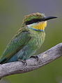 Swallow-tailed bee-eater, Merops hirundineus, at Marakele National Park, Limpopo, South Africa (24168859406).jpg