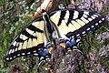 Swallowtail IMGP6264.jpg