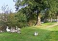 Swans by the Mosset Burn - geograph.org.uk - 1512601.jpg