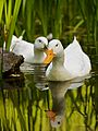 Swimming white domesticated ducks.jpg