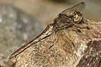 Sympetrum vulgatum LC0368.jpg