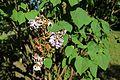 Syringa vulgaris 'Praecox Lamartine' 01.JPG