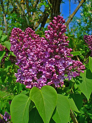 English: Syringa vulgaris, Oleaceae, Common Li...