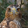 Tête d'aigle royal au Pont de Gau en Camargue.jpg