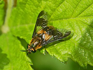Horse-fly - A deer fly, Chrysops caecutiens