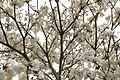 Tabebuia Roseoalba (White Ipe) (28790278932).jpg