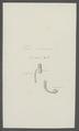 Taenia cucumerina - - Print - Iconographia Zoologica - Special Collections University of Amsterdam - UBAINV0274 105 19 0005.tif