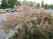 Tamarix gallica struik