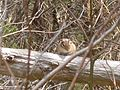 Tamias striatus chipmunk mammal in forest.jpg