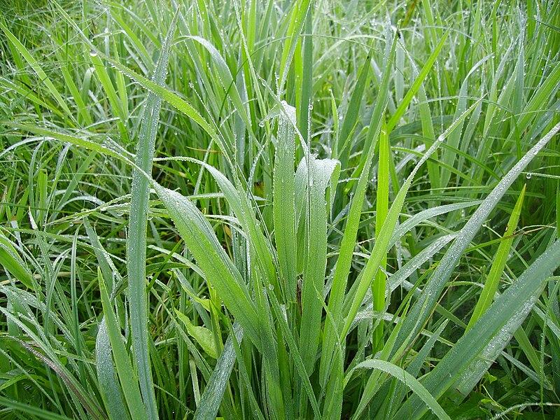 File:Tau auf dem Gras.JPG