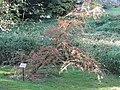 Taxodium mucronatum (Jardin des Plantes de Paris).jpg