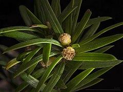 Le MYTHE SOLAIRE du VAISSEAU : L' IF dans TAO des arbres 240px-Taxus_baccata_MHNT_flowers_male