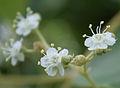Teak (Tectona grandis) flowers in Anantgiri, AP W IMG 8807.jpg
