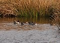 Teal at Ynyshir - geograph.org.uk - 1720876.jpg