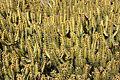Teguise Guatiza - Jardin - Euphorbia griseola 05 ies.jpg