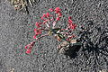 Teguise Guatiza - Jardin - Euphorbia neococcinea 03 ies.jpg