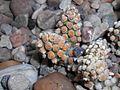 Tephrocactus molinensis 2017-05-05 9424.jpg