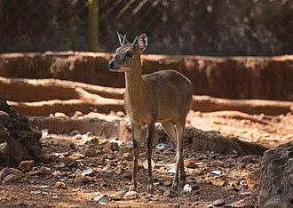 Four-horned antelope - Image: Tetracerus quadricornis III