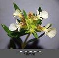 Teucrium montanum sl12.jpg