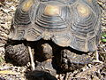Texas Tortoise (close-up) Beeville TX June 2011.jpg
