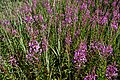 Texel - De Hors - View NW on Lythrum salicaria - Purple loosestrife - Kattenstaart.jpg