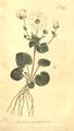 The Botanical Magazine, Plate 386 (Volume 11, 1797).png