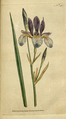 The Botanical Magazine, Plate 50 (Volume 2, 1788).png