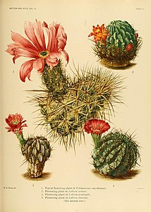 The Cactaceae (Plate V) (8569080148).jpg