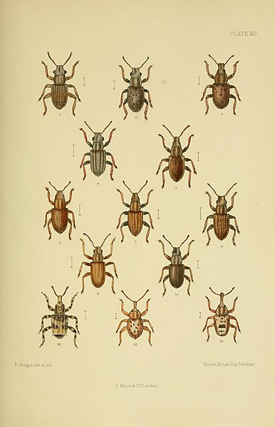 File:The Coleoptera of the British islands (Plate 162) (8570736873).jpg