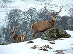 ELEN 150px-The_Deer_Park%2C_Glengoulandie_-_geograph.org.uk_-_136680
