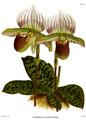 The Orchid Album-01-0068-0022-Cypripedium lawrencianum.png