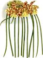 The Orchid Album-02-0024-0055-Scuticaria steelii-crop.png
