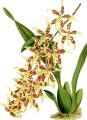 The Orchid Album-02-0114-0085-Odontoglossum hebraicum lineoligerum-crop.png