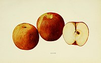 The apples of New York (1905) (19124921293).jpg