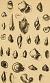 The conchologist's text-book - embracing the arrangements of Lamarck and Linnaeus with a glossary of technical terms, to which is added a brief account of the mollusca (1858) (20670119532).jpg