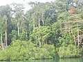 The mangrove trees of andaman coming out of water.jpg