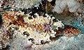 The nudibranch Glossodoris andersonae, Egypt, Red Sea.jpg