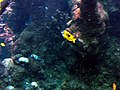 This is a foxglove rabbitfish 2013-09-13 10-56.jpg