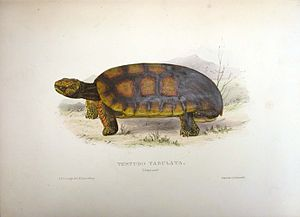 Thomas Bell (zoologist) - Chelonoidis denticulata/Testudo tabulata from Thomas Bell's A Monograph of the Testudinata London: 1832–1836