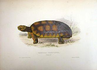 Thomas Bell (zoologist) - Chelonoidis denticulata/Testudo tabulata from Thomas Bell's A Monograph of the Testudinata London: 1832–1836