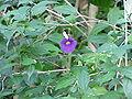Thunbergia erecta1.jpg