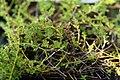 Thymus praecox Albiflorus 0zz.jpg
