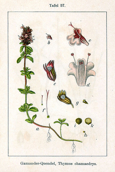 Datei:Thymus serpyllum Sturm57.jpg