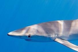 Tiburón azul (Prionace glauca), canal Fayal-Pico, islas Azores, Portugal, 2020-07-27, DD 14.jpg